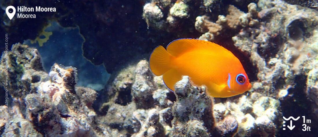 Lemonpeel angelfish at Hilton Moorea lagoon - Moorea snorkeling