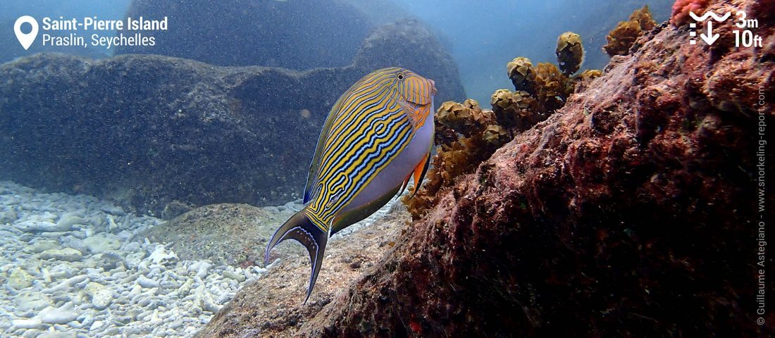 Lined surgeonfish at St Pierre Island, Seychelles