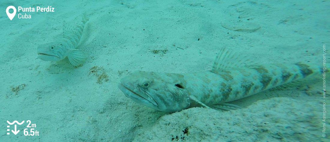 Lizard fish at Punta Perdiz, Cuba