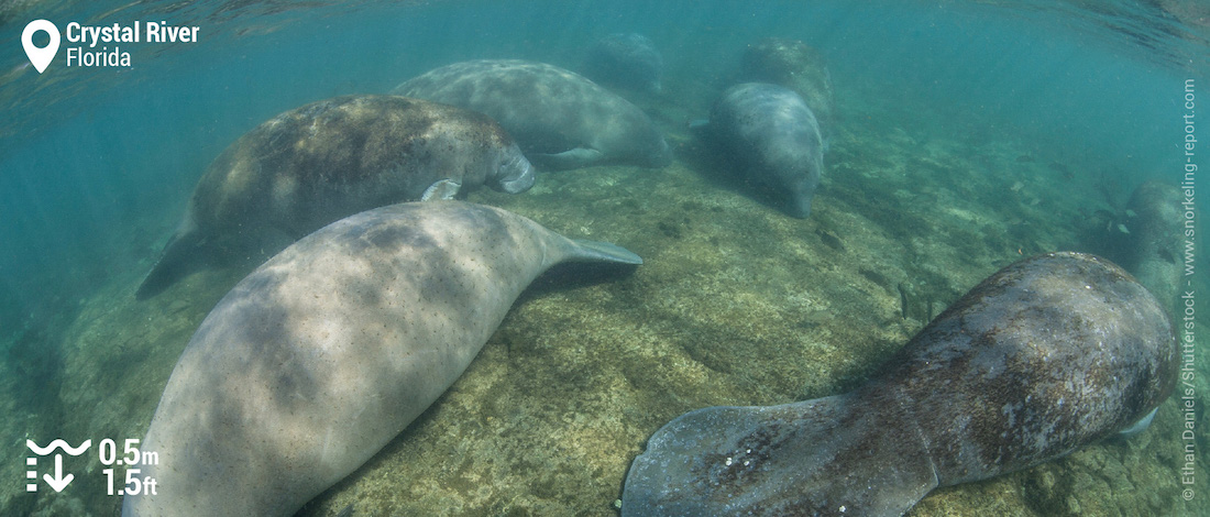 Snorkeling with manatees at Crystal River