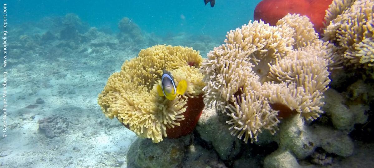 Mauritian clownfish in a sea anemone