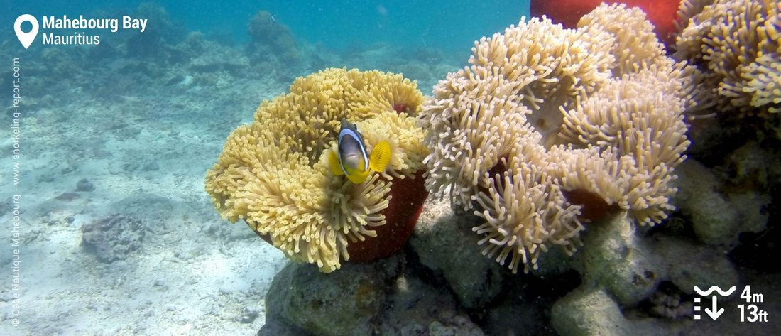 Snorkeling with Mauritius clownfish in Mahébourg Bay