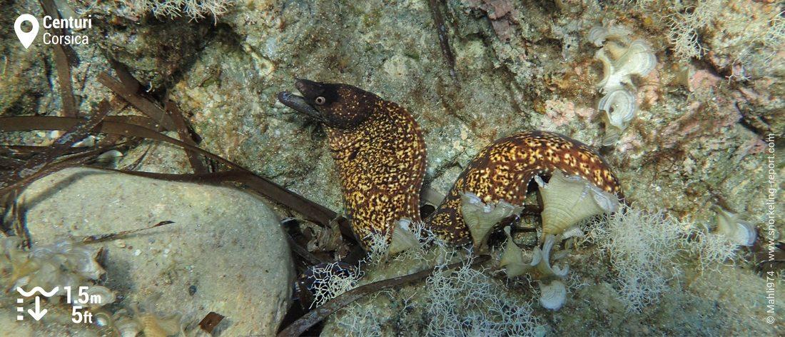 Mediterranean moray eel at Centuri, Corsica