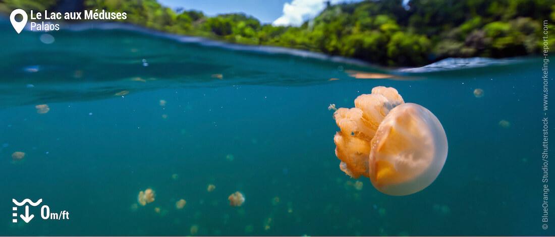 Méduse dorée au Lac aux Méduses, Palaos