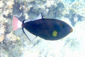 Pinktail triggerfish