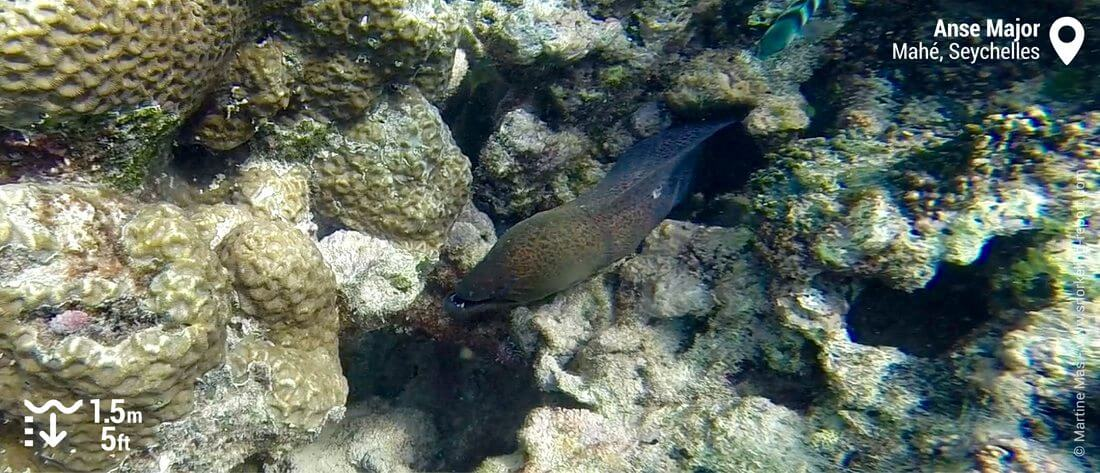 Giant moray eel at Anse Major, Seychelles