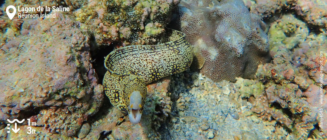 Moray eels in la Saline