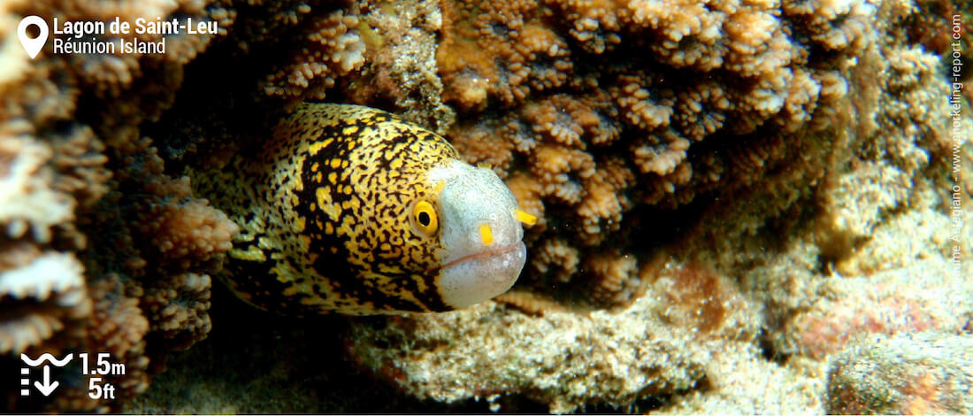 Snowflake moray eel at Lagon de Saint-Leu, Réunion Island