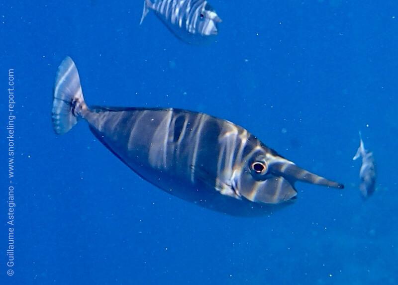 Whitemargin unicornfish