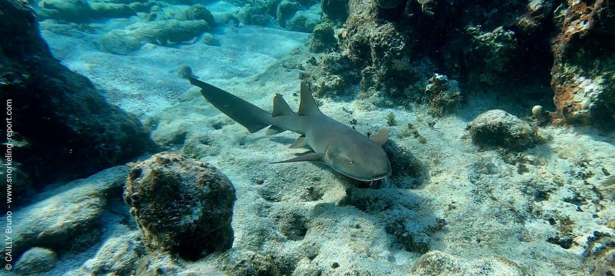 Nurse shark at Jardines de la Reina