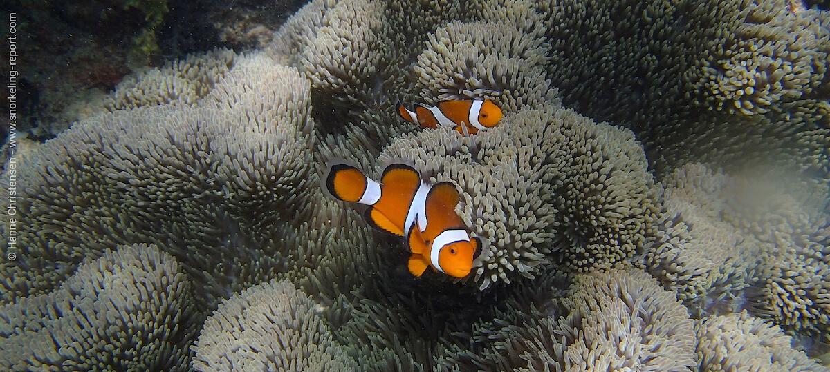Ocellaris clownfish in Pulau Sapi