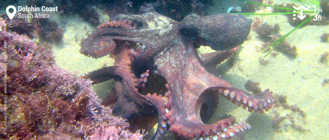 Octopus in a Tidal Pool, South Africa