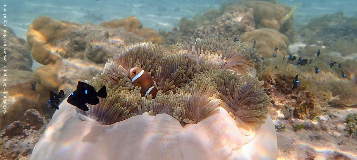 Orangefin anemonefish in Raiatea