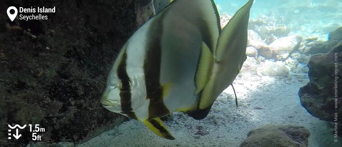 Orbicular batfish at Denis Island