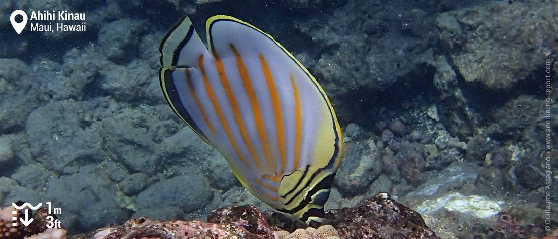 Ornate butterflyfish at Ahihi Kinau, Maui