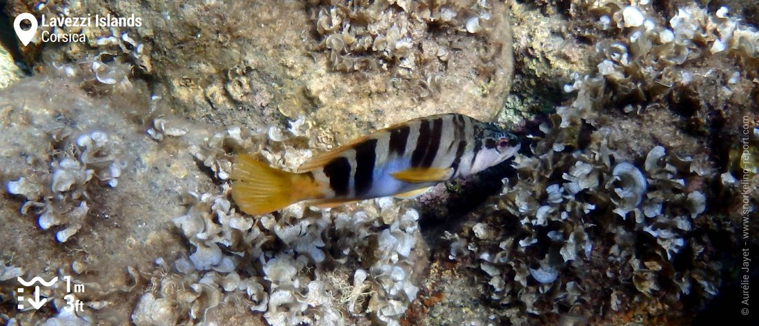 Painted comber at Lavezzi Islands, Corsica