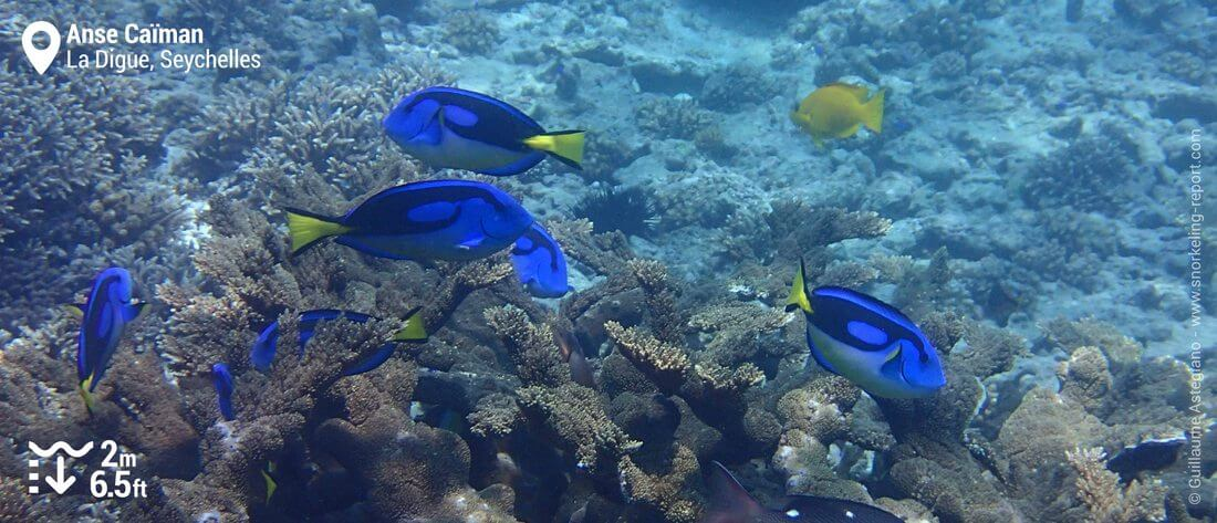 Palette surgeonfish at Anse Caiman, Seychelles