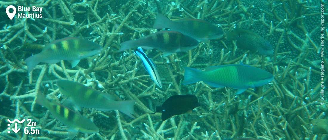 Parrotfish in Blue Bay, Mauritius