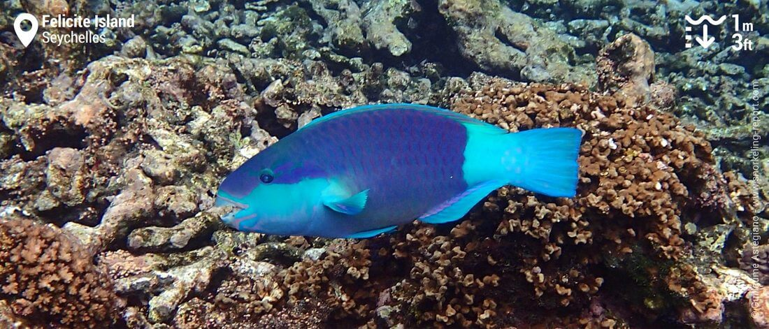 Parrotfish at Felicite Island, Seychelles