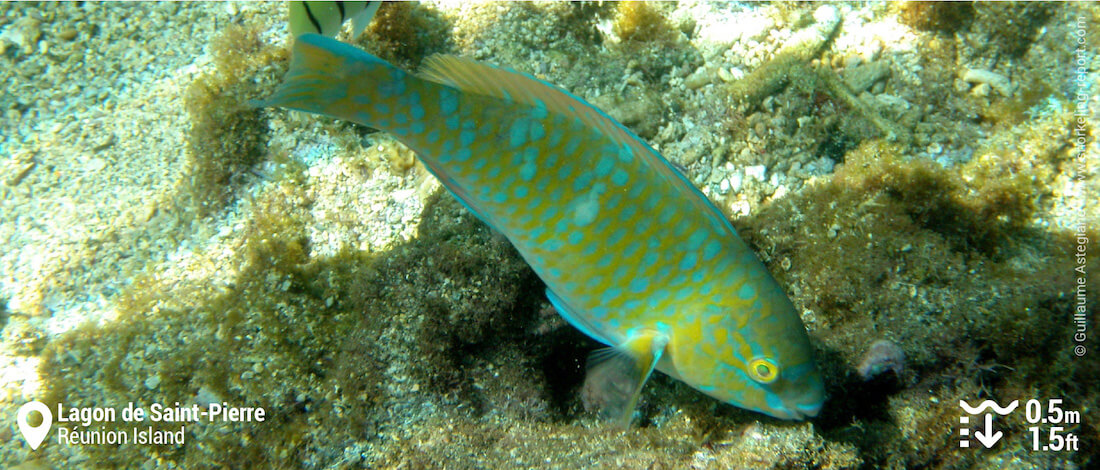 Parrotfish at Saint-Pierre, Réunion Island