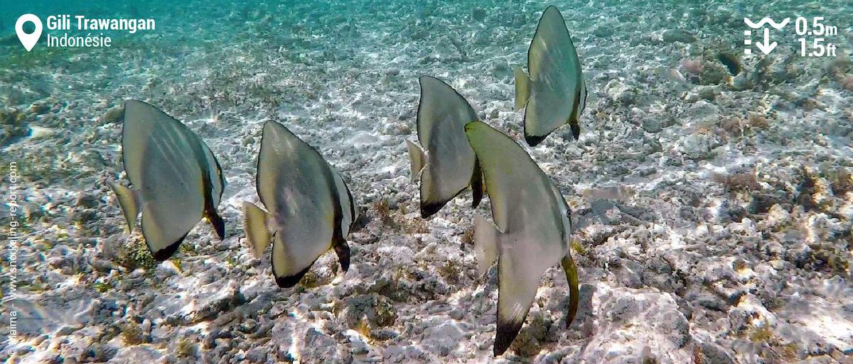 Un banc de platax à longues nageoires sur le récif de Gili Trawangan