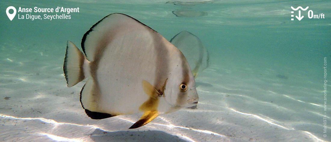 Snorkeling avec les platax de l'Anse Source d'Argent