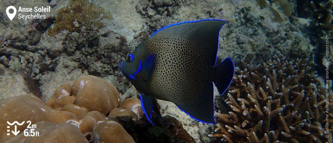 Snorkeling avec poisson-ange à demi-cercle à l'Anse Soleil