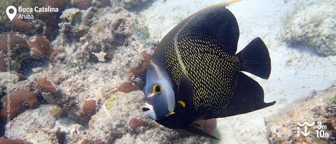 Poisson-ange français à Boca Catalina, Snorkeling à Aruba