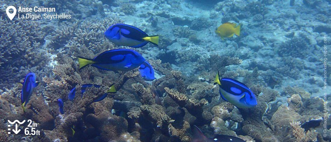 Poissons-chirurgiens bleus à l'Anse Caïman, La Digue