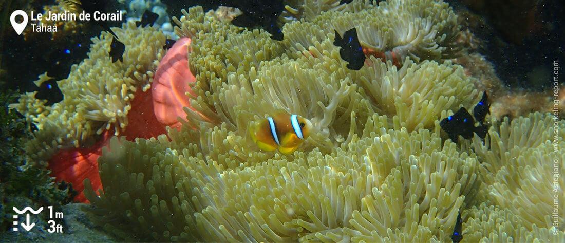 Snorkeling avec des poissons-clowns au Jardin de Corail de Tahaa