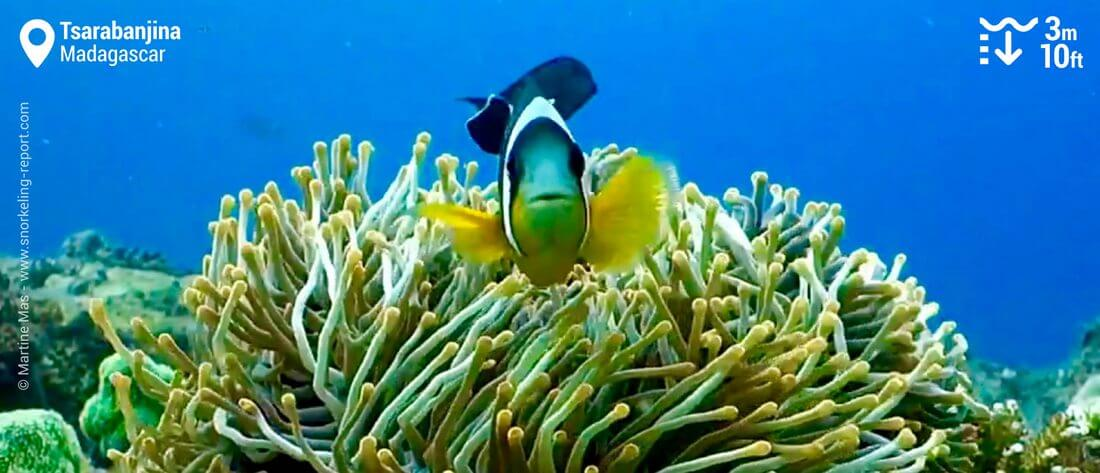 Snorkeling avec des poissons-clowns de Madagascar à Tsarabanjina