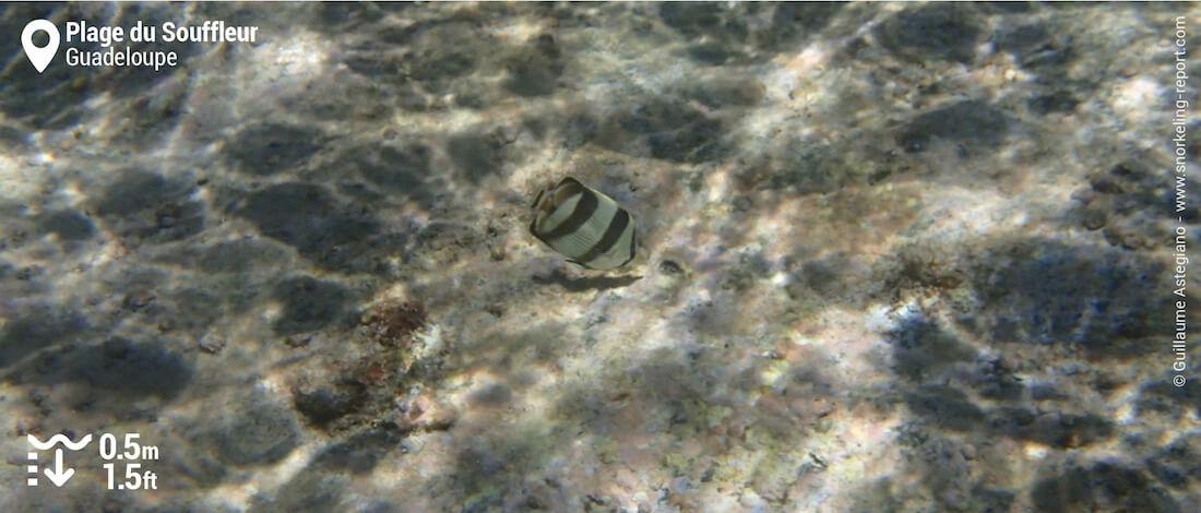Poisson-papillon à bande noire à la plage du Souffleur, Guadeloupe