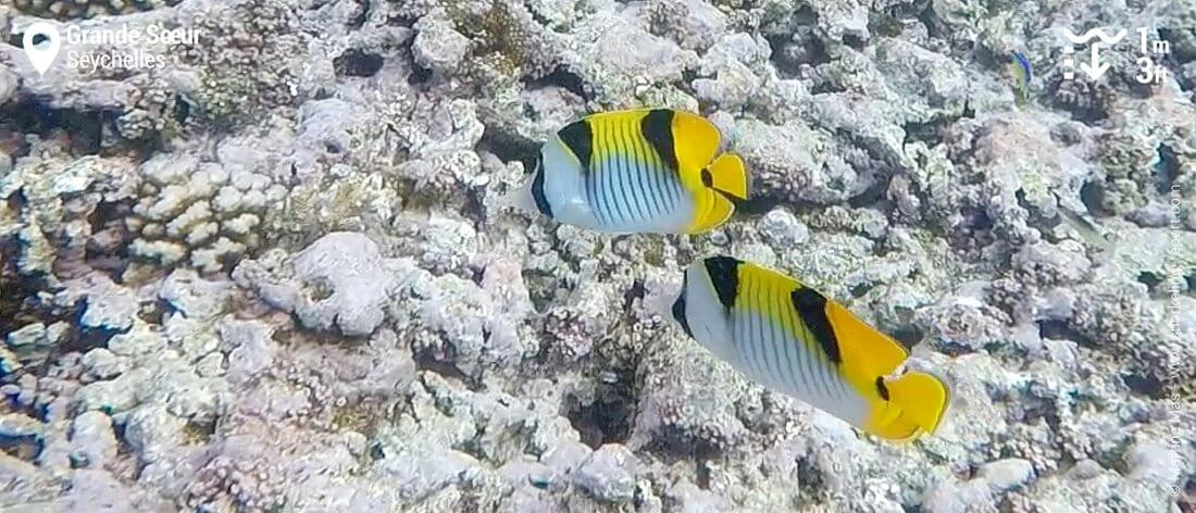 Poissons-papillons à double selle à Grande Soeur, Seychelles