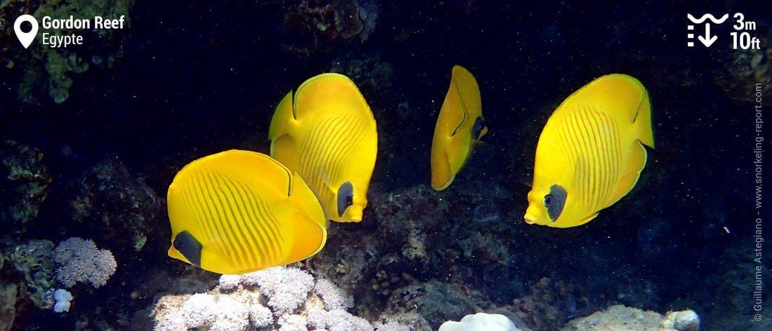 Poissons-papillons jaunes à Gordon Reef, Egypte