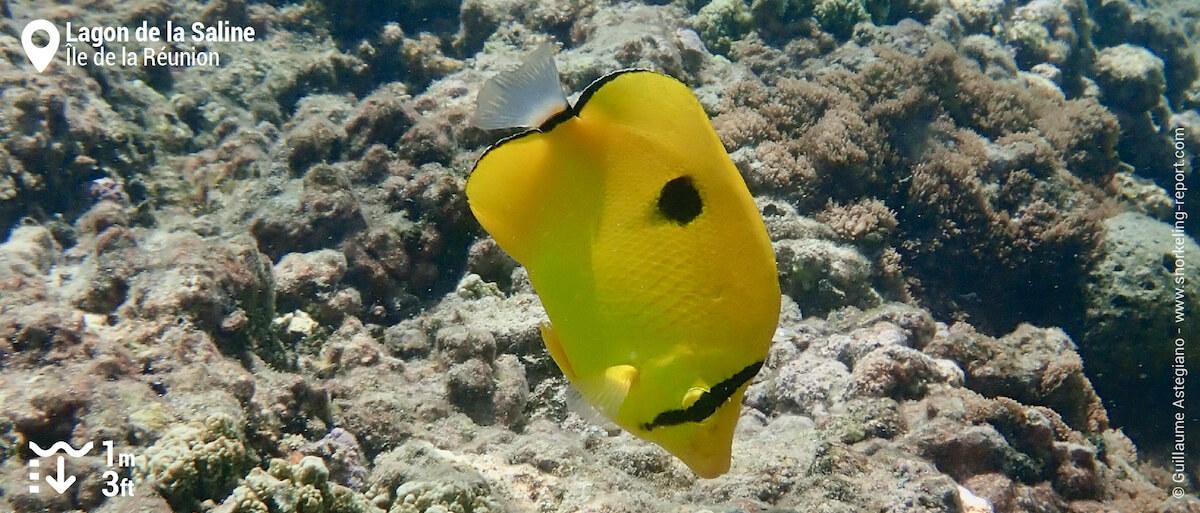 Poisson-papillon larme de l'Océan Indien à la Saline