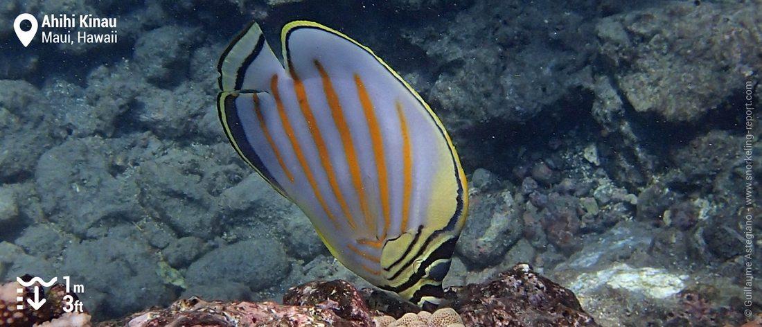 Poisson-papillon orné à Ahihi Kinau, Maui