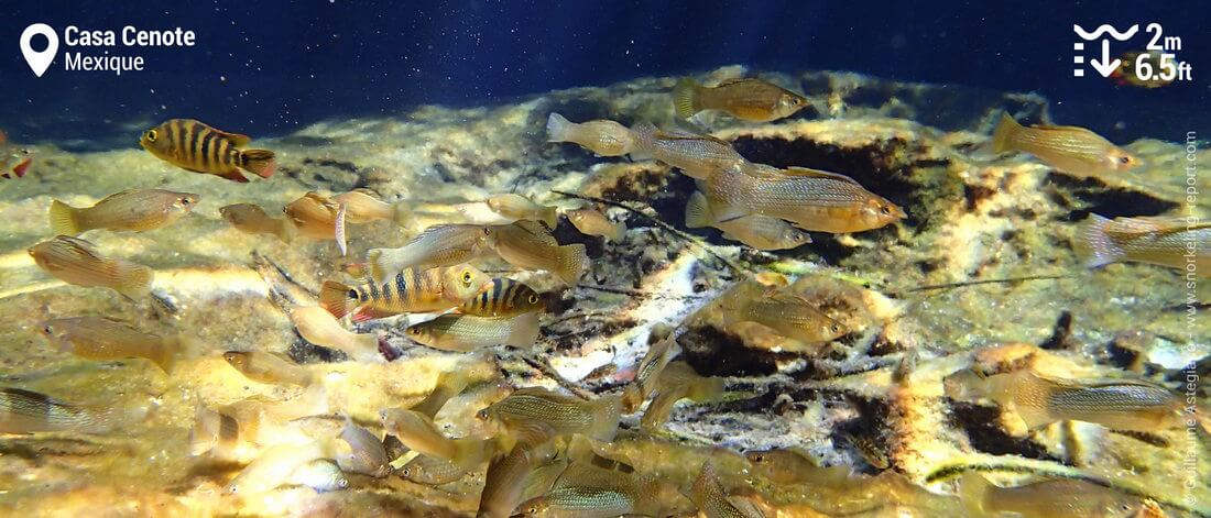 Platys et mollys au Casa Cenote - Snorkeling au Mexique