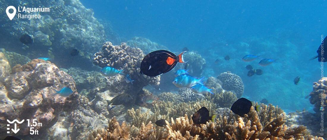 Poissons sur le récif de l'Aquarium - Snorkeling à Rangiroa