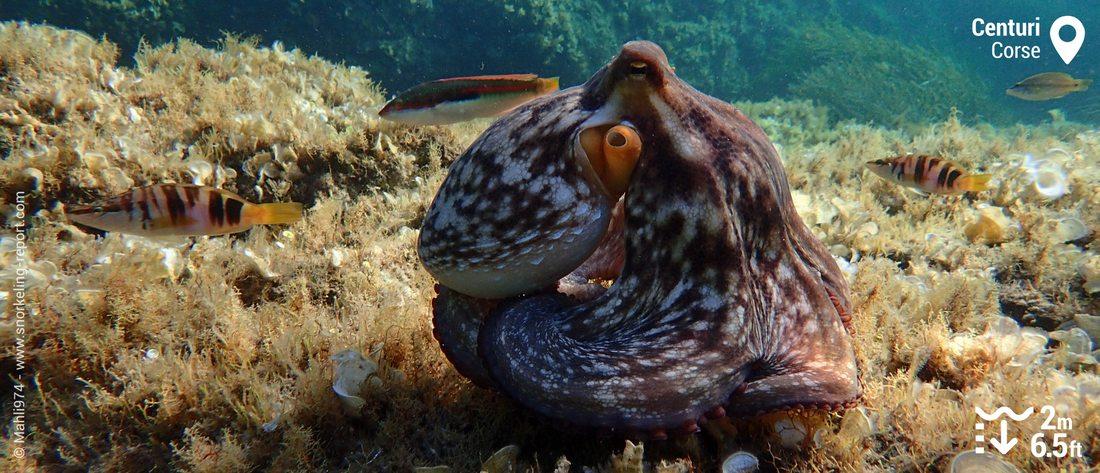 Poulpe et poissons à Centuri, Corse