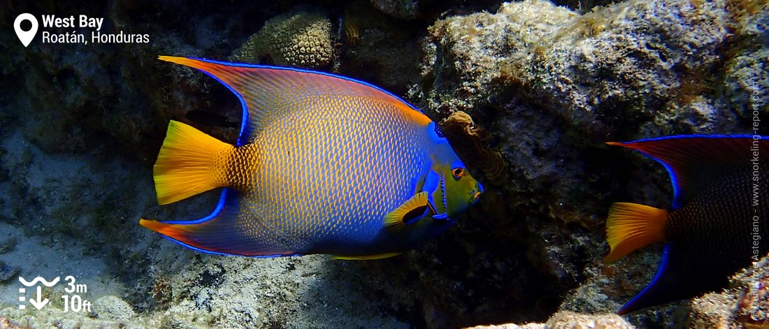 Queen angelfish at West Bay, Roatan