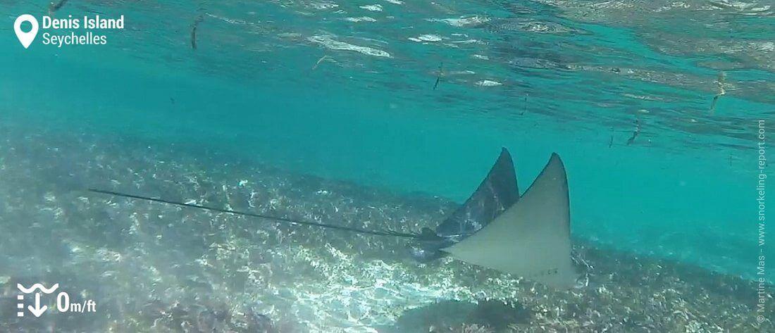 Snorkeling avec une raie aigle à Denis Island, Seychelles