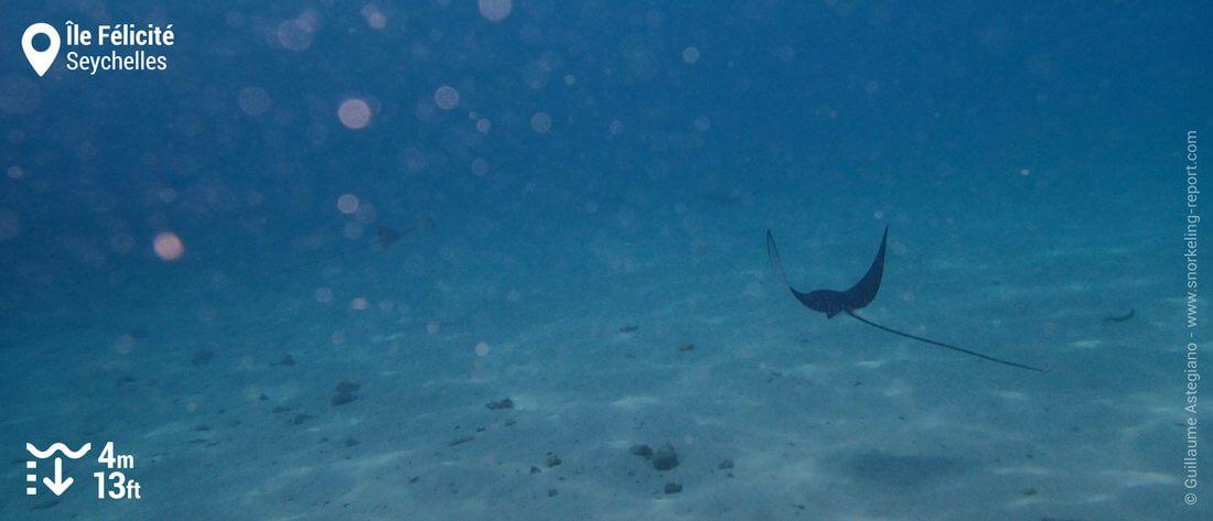 Snorkeling avec des raies aigles à l'île Félicité, Seychelles