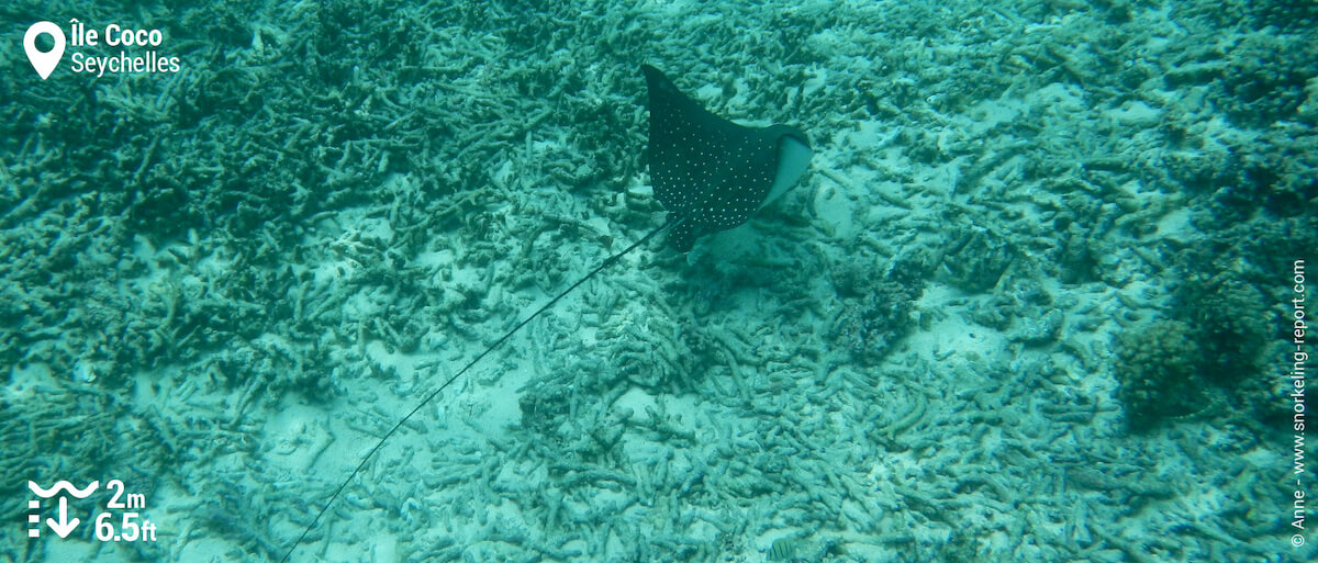 Raie léopard à l'Île Coco