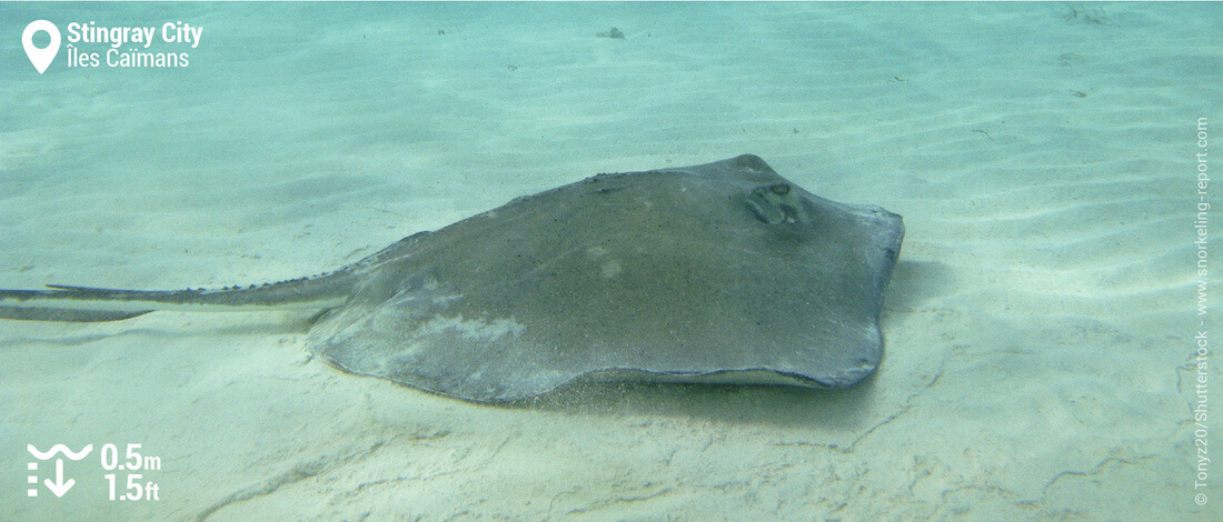 Snorkeling avec les raies pastenague de Stingray City, Iles Caïmans