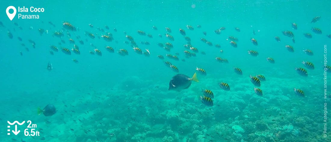 Razor surgeonfish and sergeant-major at Isla Coco
