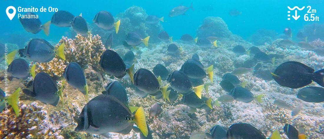 Razor surgeonfish at Granito de Oro, Coiba National Park