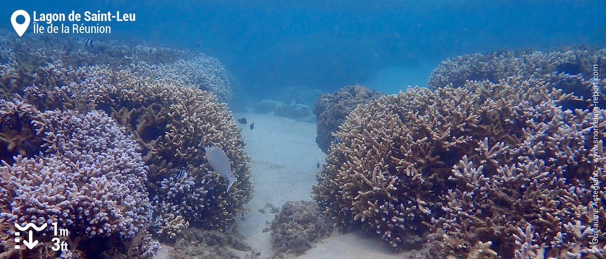 Récifs de coraux branchus dans le lagon de Saint-Leu