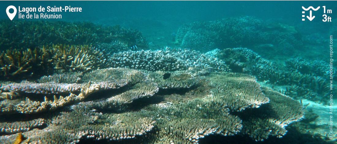 Récif corallien dans le lagon de Saint-Pierre, La Réunion