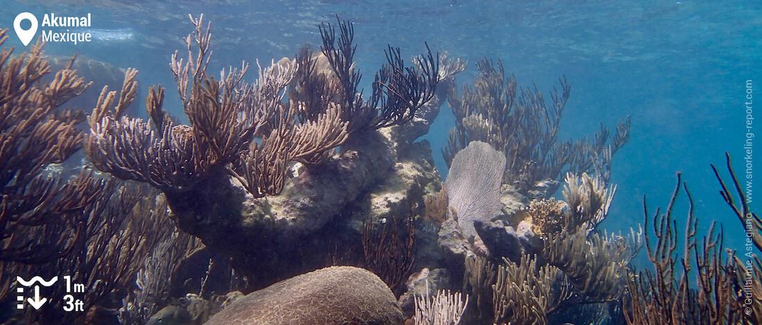 Récif corallien à Akumal, Mexique