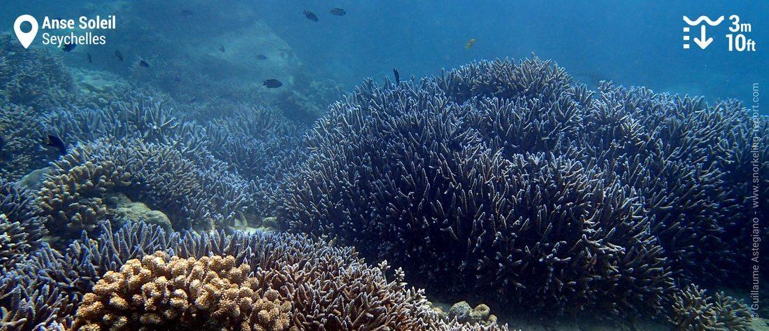 Coraux branchus à l'Anse Soleil, Mahé